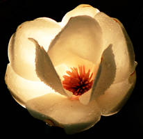 Magnolia by BlackMagdalena