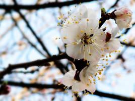 Dollhouse Cherry Blossoms by BlackMagdalena