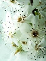 Bradford Blossoms III by BlackMagdalena