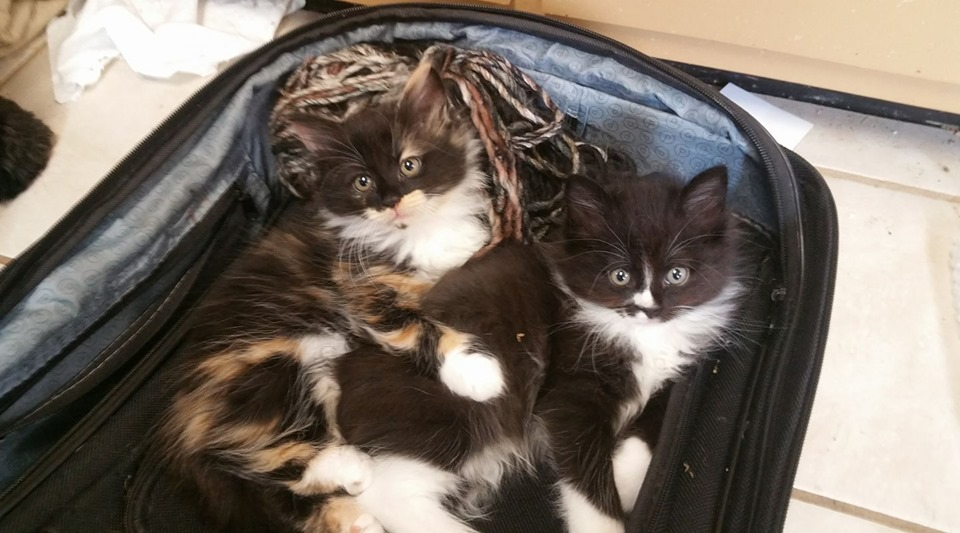 Kittens in a Suitcase by SparklinBurgndy