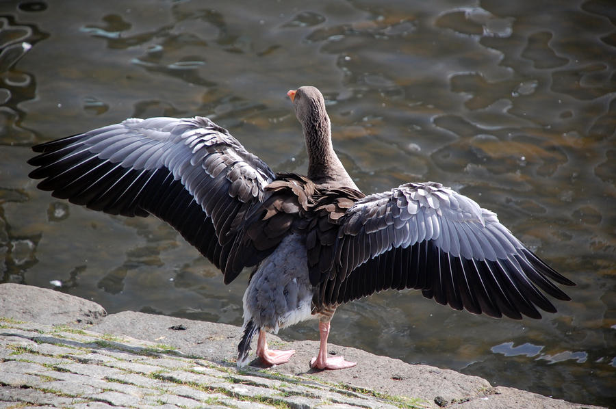 Greylag Goose by Vagabond16