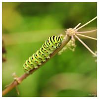 Caterpillar by IrisErelar