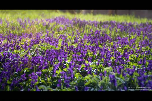 March_Violets I