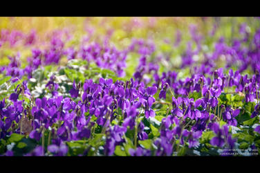 March_Violets II