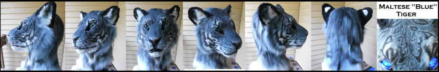 Maltese Tiger Pics Maltese Quot Blue Quot Tiger by
