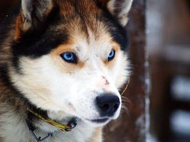 Fursuit challenge: husky