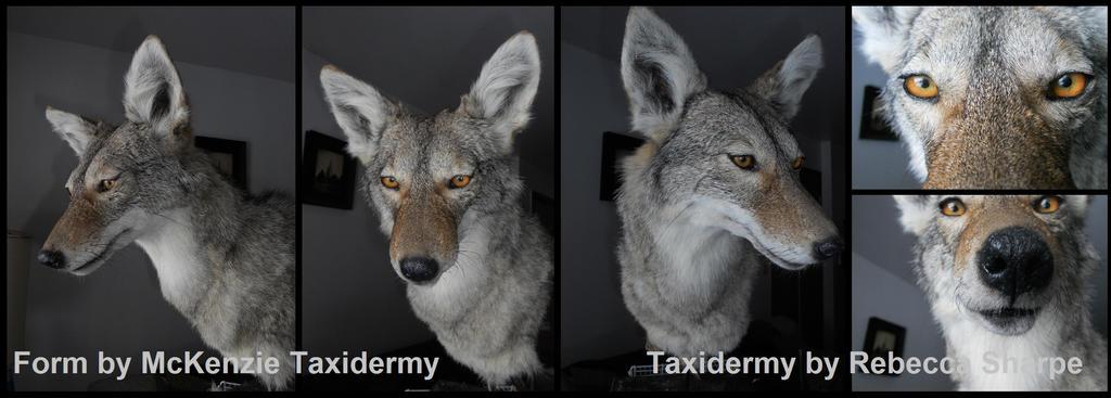 Coyote Shoulder Mount by Sharpe19
