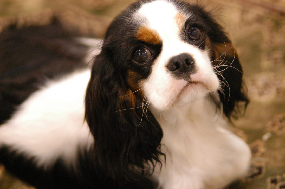 Spaniel 2 by BlindedbyScience