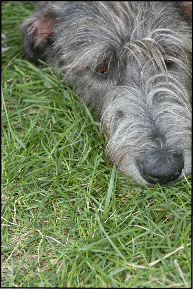 Irish Wolfhound by BlindedbyScience