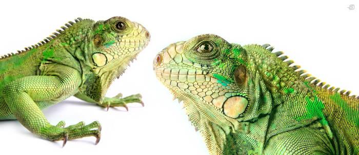 Iguana2 by StanOd