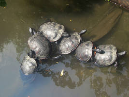 Conga Turtles by Abigrace