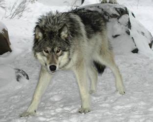 Timber wolf by shadowspirit07