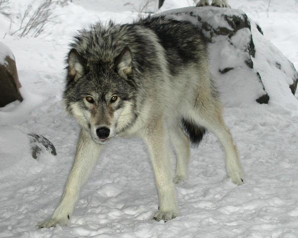 siberian wolves wiki