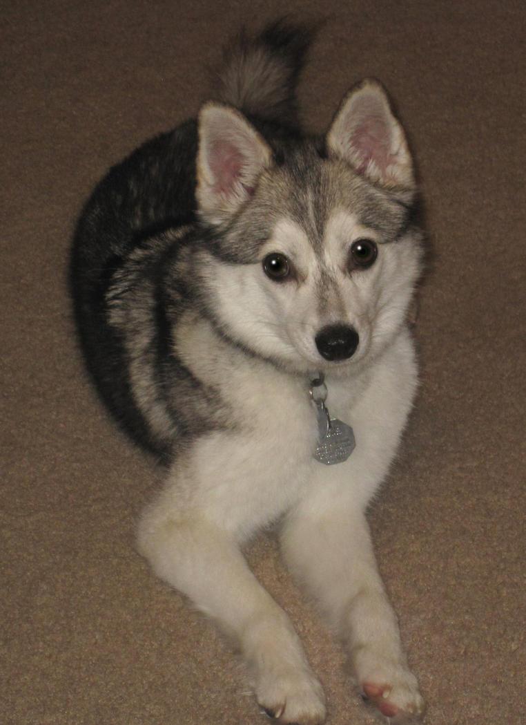 Alaskan Klee Kai - Hunderassen Haustiere