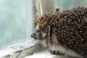 Hedgehog in sorrow by Nickdan