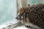 Hedgehog in sorrow