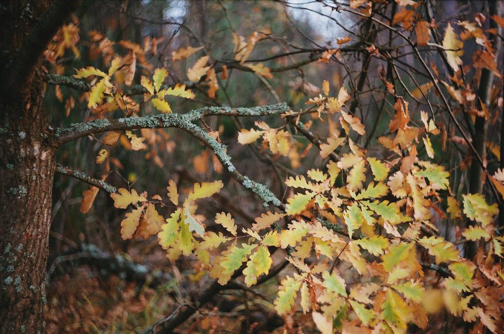 Gusty Wind Is Tearing Golden Oak Leaves by ObservableUniverse