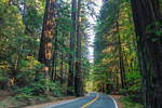 Along the Avenue of the Giants