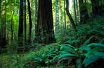 Lush Fern and Redwood Forest