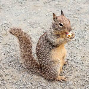 Beach Squirrel Eatin' Popcorn