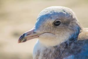 Sweet Gull