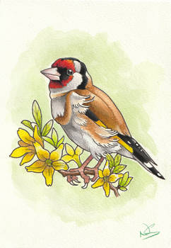 Daily Draw - 1 - Goldfinch