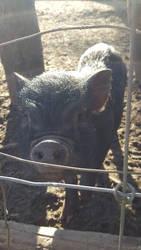 A Little Farm Piggie by Jakkie03