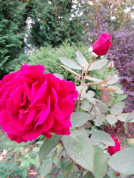 rose intensly rosy