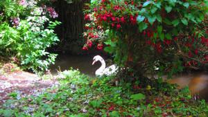 Swans 4