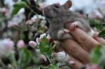 szczurem jestem