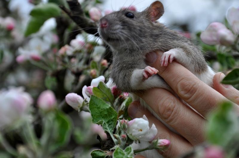 szczurem jestem by Athabasca