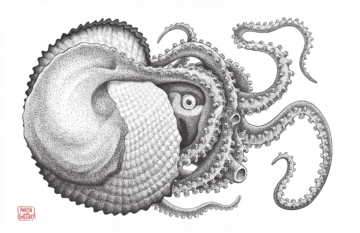 Giant Octopus Drawing Argonaut octopus by