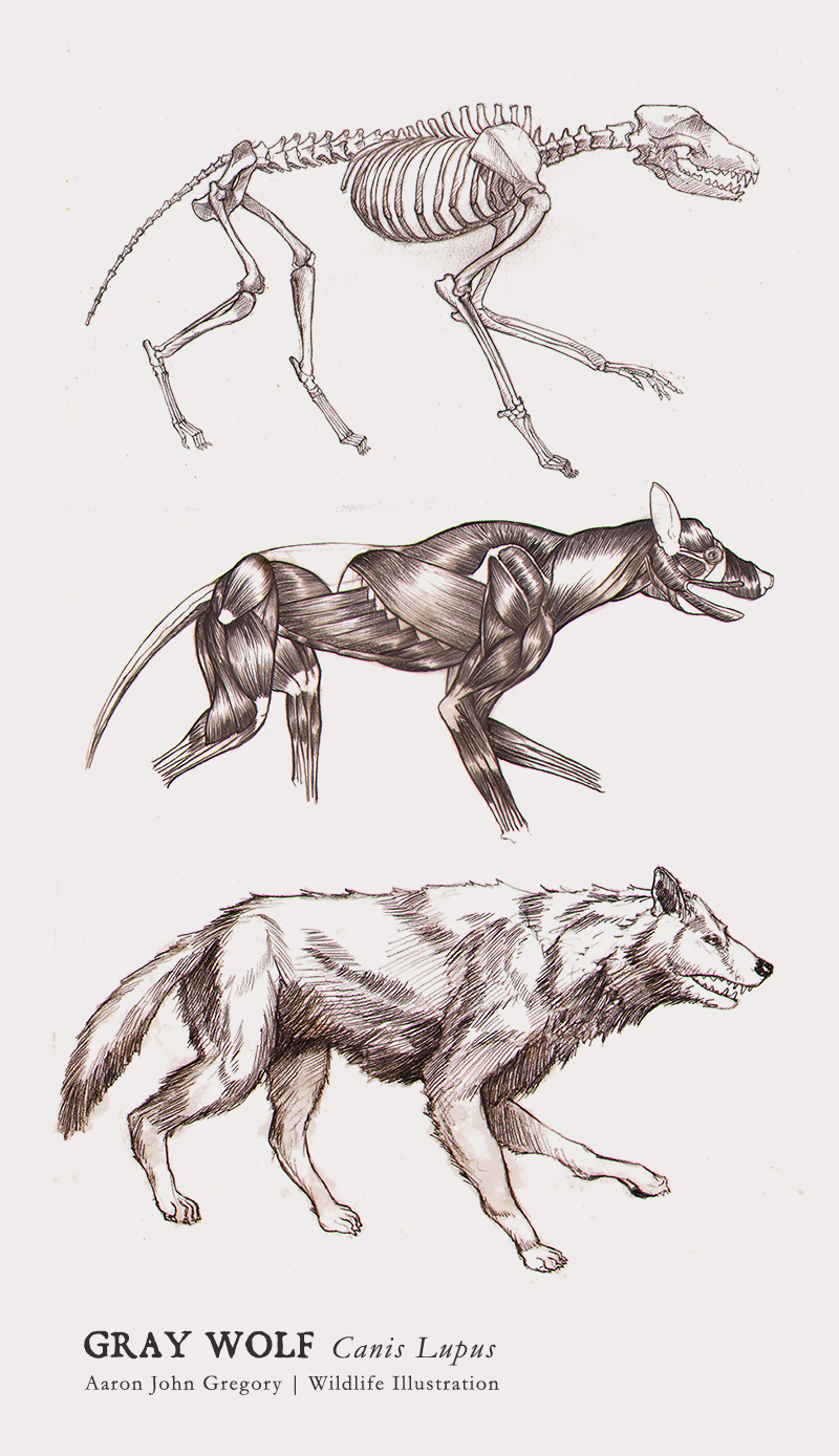 Gray Wolf Orthographic by aaronjohngregory on DeviantArt