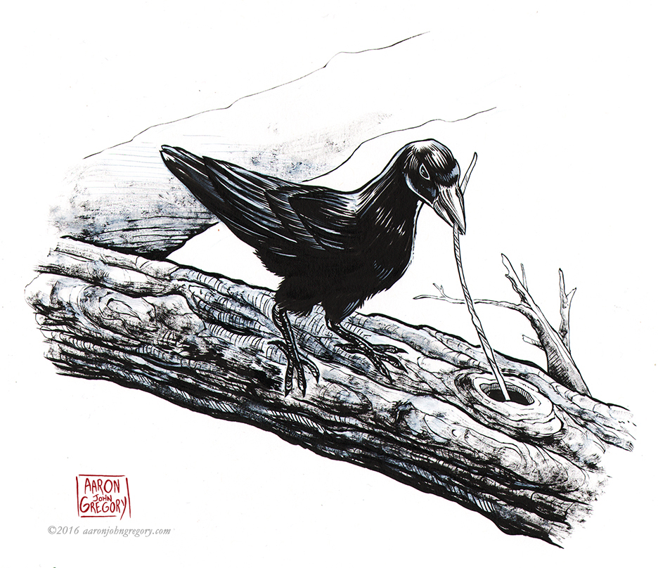 Caledonian Crow by aaronjohngregory
