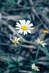 Daisy by narcoticplease