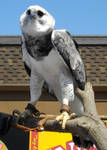 Harpy Eagle 02 by kookybat810