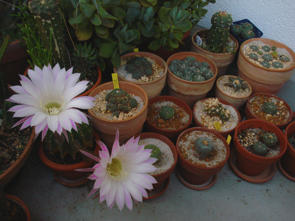 Different Lophophora species by ~MrWilliamsii on deviantART