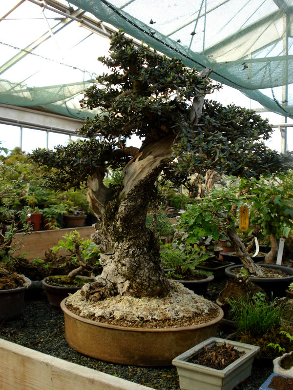 Bonsai olive tree by mrwilliamsii on deviantart for How to make an olive tree into a bonsai