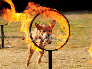 13491788-dog-jumping-through-a-hoop-of-fire by WoC-Brissinge