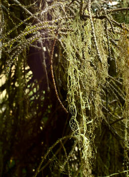 Moss and Lichen hanging from sun lit branches
