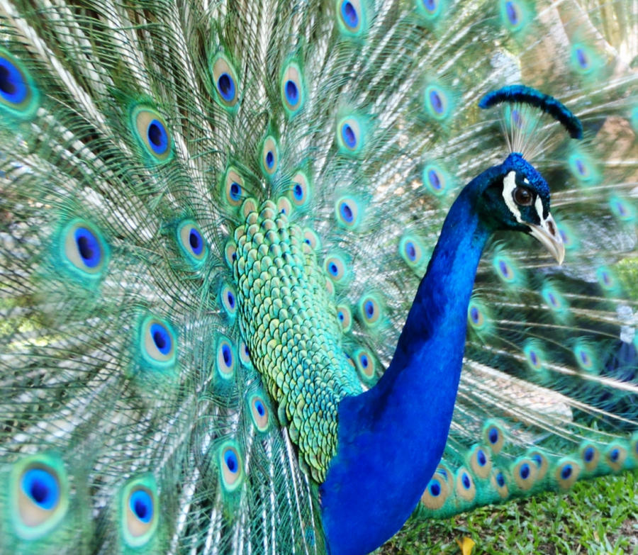 Peacock by georgielovesearlgrey