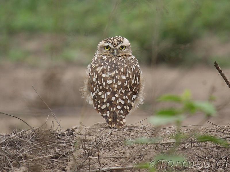 Burrowing Owl by perubirder