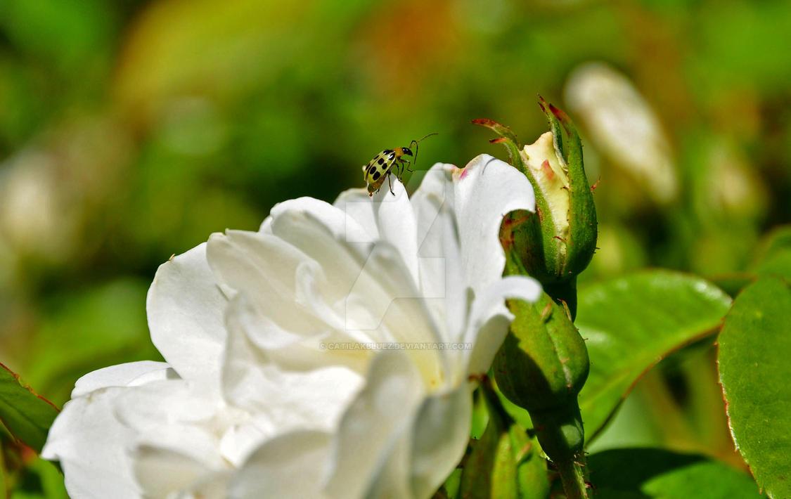 Ladybug Green by catilakbluez