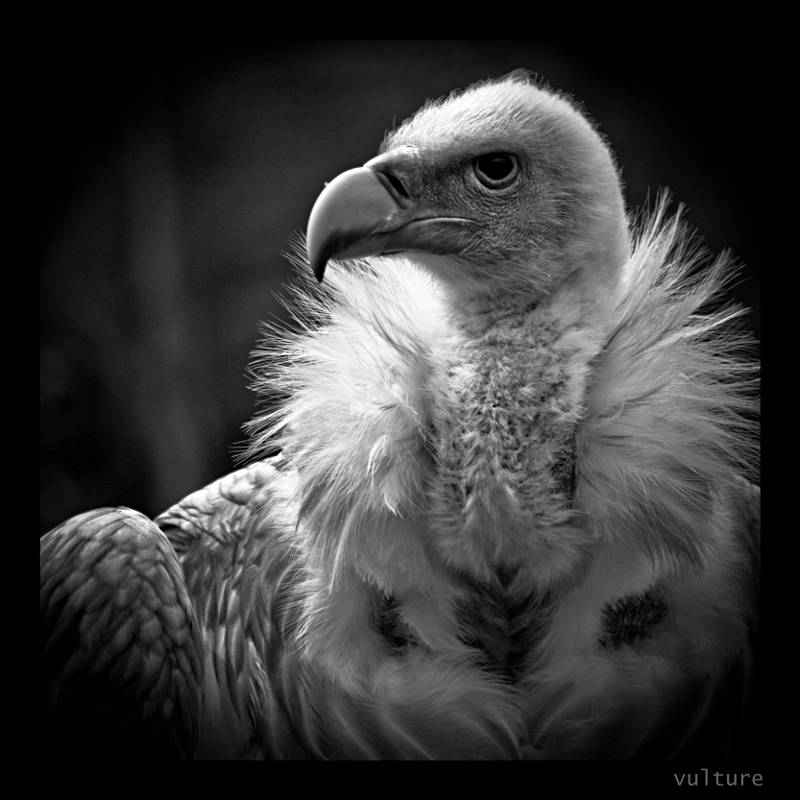 vulture by korrox