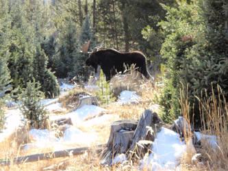 Colorado Moose by AnimalCO