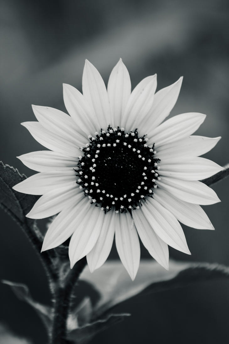 Black And White Sunflower Photography Wallpaper Traffic Club