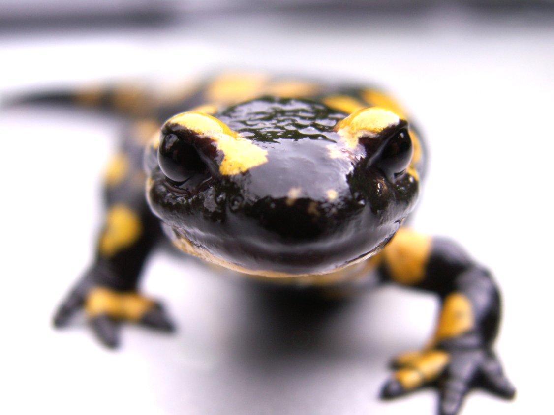 Salamander 4 by Andryna