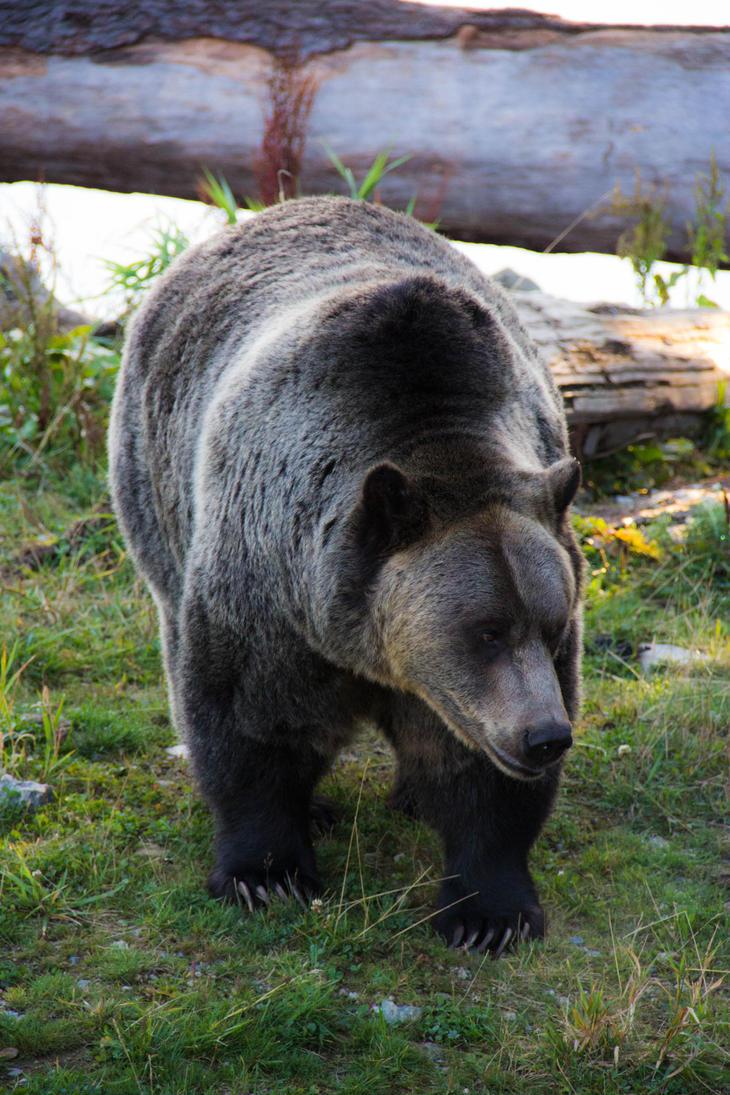 Grizzly Bear by UberPickleMonkey