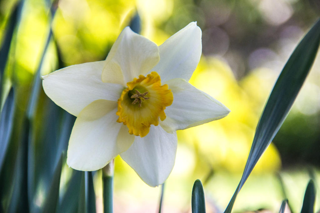 Daffodil by UberPickleMonkey