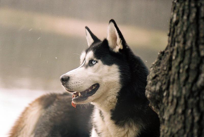 husky by wariatka
